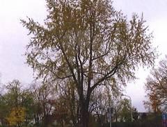 Drei alte Bäume nicht mehr zu retten 2