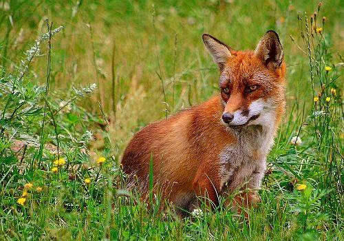 Herbferienaktion Umweltberatung - Fuchs