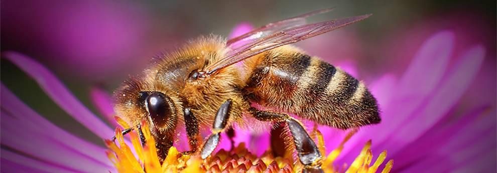 Slider Biene auf Blüte