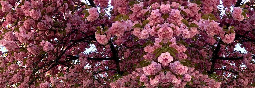 Slider Langen Kirschblüte